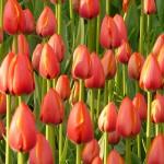 tulipany 150x150 - 15 zagadkowych escape roomów