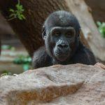 Zjedz lunch z szympansem czyli nowa atrakcja w Oliwskim ZOO