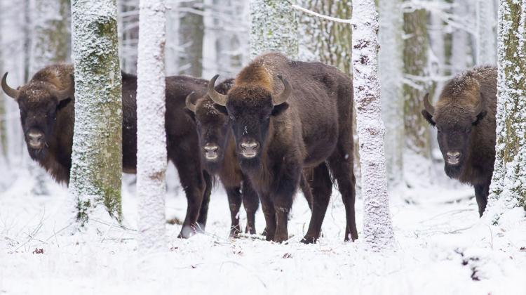 zubr - Atrakcje w Polsce, które musisz odwiedzić zimą
