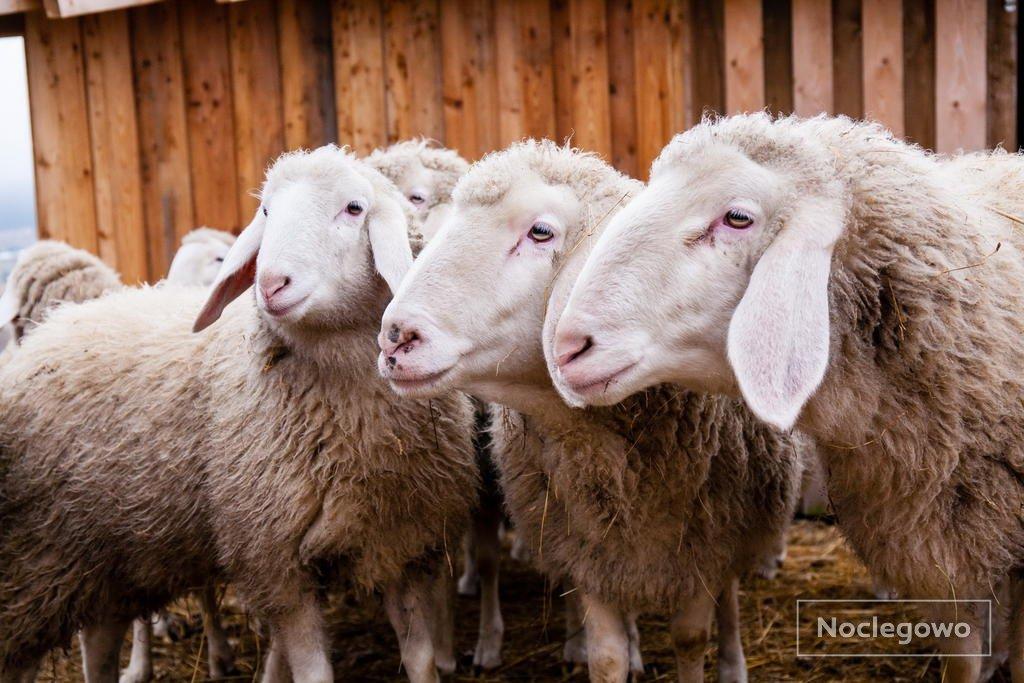 447224 342 mostowice wzgorze owiec agroturystyka w malowniczym miejscu - TOP 5 Agroturystyka: Gospodarstwa agroturystyczne 2021