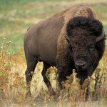 bison 526805 1920 150x150 - Co zabrać na wakacje w górach? Lista niezbędnych rzeczy